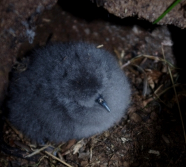 Blue petrel chick, Ile Mayes. Image by Colin Miskelly, copyright IPEV/Te Papa