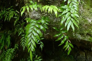 The new fern species grows on limestone and similar rocks in the north-west South Island. Photo © Leon Perrie.