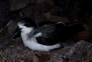 Barau's petrel on colony surface at night. Image: Colin Miskelly, Te Papa