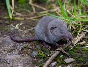 Asian house shrew (Suncus murinus, introduced to Reunion Island). Image: Colin Miskelly, Te Papa
