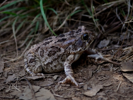 Marbled toad (Amietophrynus gutturalis, also introduced). Image: Colin Miskelly, Te Papa