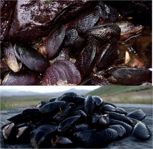 Top: ribbed and blue mussels in situ. Bottom: blue mussels ex situ. Both images taken on Ile aux Cochons, Iles Kerguelen, by Colin Miskelly, copyright IPEV/Te Papa