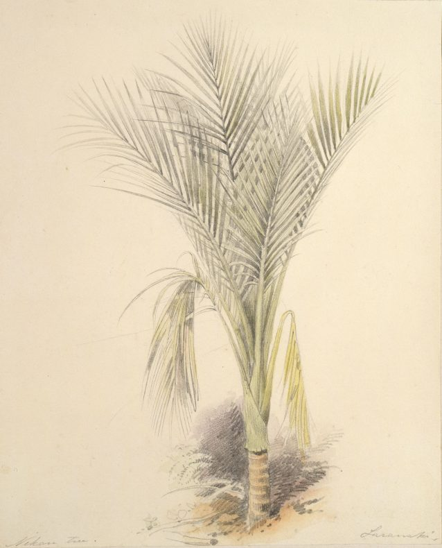 watercolour and pencil sketch of a nikau palm