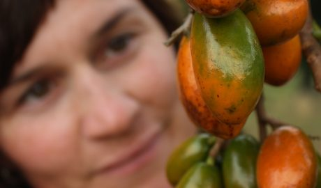 Robin Atherton with the distinctive fruit of karaka. Robin studied karaka genetics for her PhD at Massey University and is a co-author on the new study. Photo credit: Robin Atherton