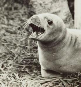 Crabeater seal, Melling, Lower Hutt, July 1934. Image: John Salmon, Te Papa image MA_A.000173
