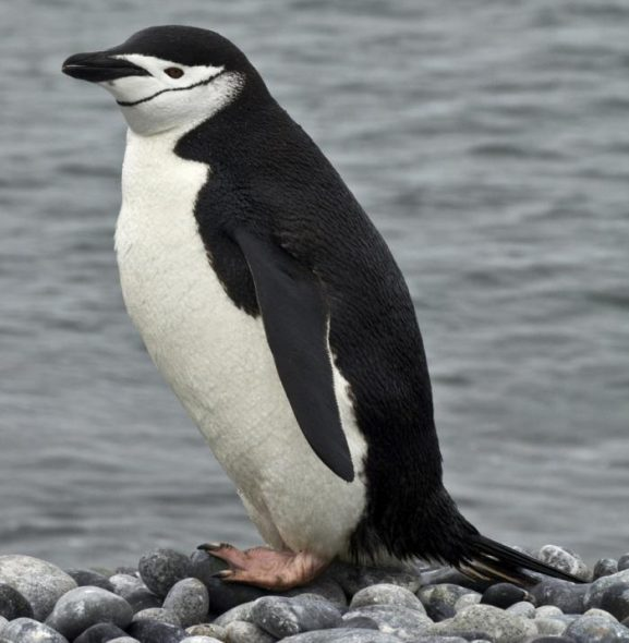Chinstrap penguin. Image: Rebecca Bowater, New Zealand Birds Online