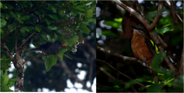 Mauritius bulbul (left) and Mauritius cuckoo-shrike (female, right). Images: Colin Miskelly, Te Papa