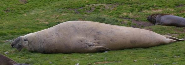 Male southern elephant seal. New Zealand fur seal. Image: Colin Miskelly