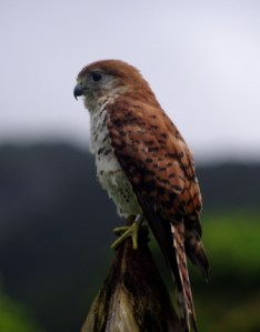 Mauritius kestrel. Image: Colin Miskelly, Te Papa