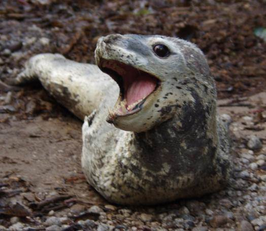 Leopard seal. New Zealand fur seal. Image: Colin Miskelly, Te Papa