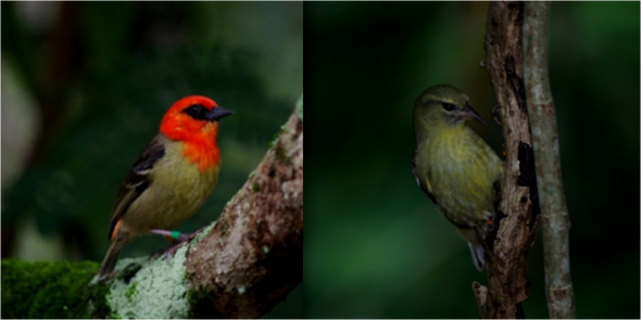 Mauritius fodies: male (left) and female (right), Ile aux Aigrettes. Image: Colin Miskelly, Te Papa