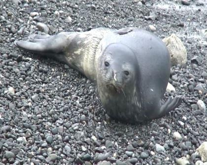 Weddell seal, Napier, June 2007. Image: Department of Conservation