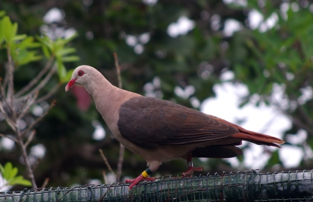 Pink pigeon, Ile aux Aigrettes. Image: Colin Miskelly, Te Papa