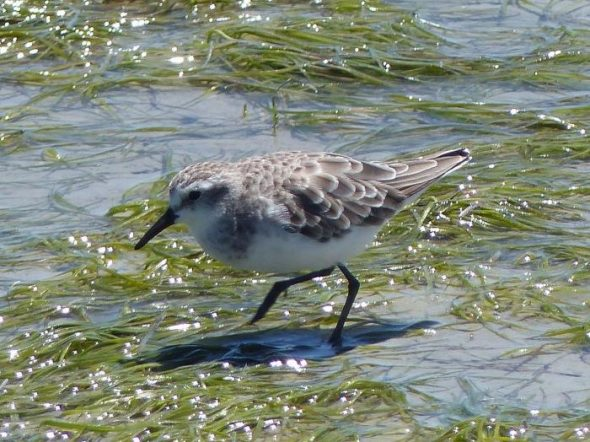 Little stint (non-breeding). Image: Alan Tennyson, New Zealand Birds Online