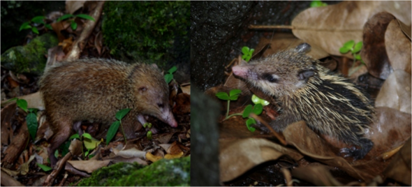 Common tenrec (adult on left, juvenile on right). Images: Colin Miskelly, Te Papa