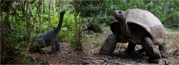 Statue of an extinct Mauritius giant tortoise (left), and an adult male Aldabran giant tortoise (right), Ile aux Aigrettes. Image: Colin Miskelly, Te Papa