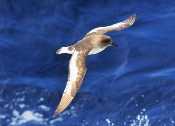 Antarctic petrel. Image: Cyril Vathelet, New Zealand Birds Online