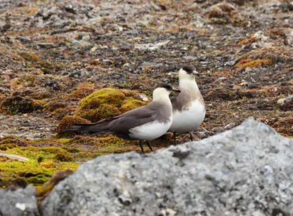 Arctic skua, breeding pair. Image: Cyril Vathelet, New Zealand Birds Online