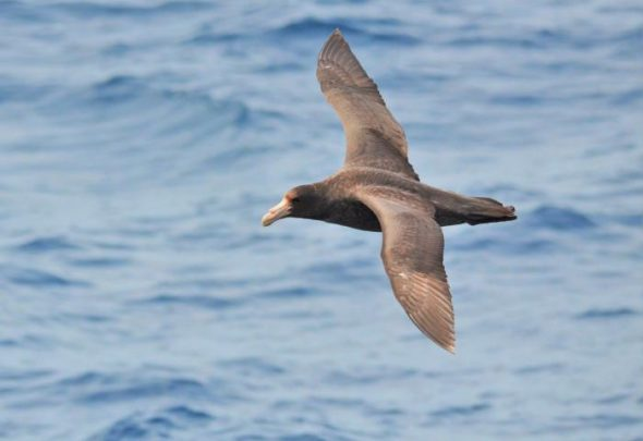 Southern giant petrel. Image: Cyril Vathelet, New Zealand Birds Online