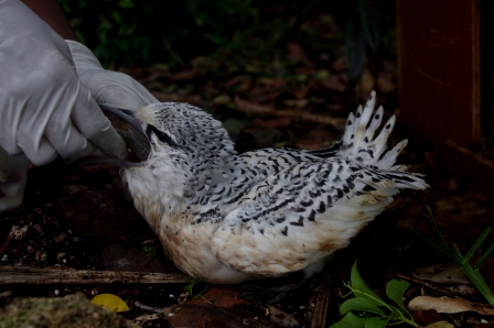 White-tailed tropicbird chick being hand-fed, Ile aux Aigrettes. Image: Colin Miskelly, Te Papa
