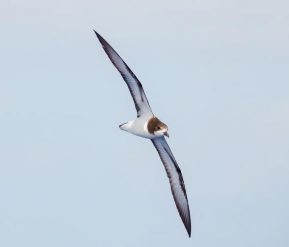 Gould's petrel. Image: Brook Whylie, New Zealand Birds Online