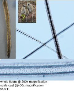 Images of hair fibers removed from GH024606 showing exterior scale patterning and the structure of the interior. Images by A. Peranteau, copyright Te Papa.