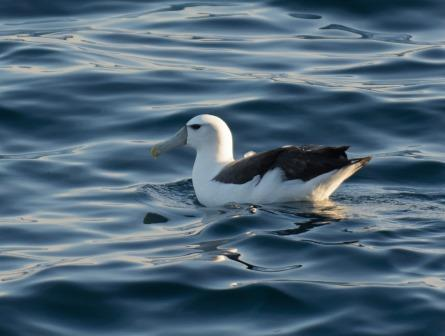 A white-capped mollymawk photographed 24 seconds before the 'New Zealand' northern fulmar. This is a common species near the Snares Islands, and has never been recorded from the Northern Hemisphere. Image: Leon Berard