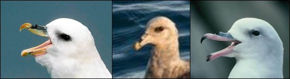 Fulmar heads. From left to right: pale morph northern fulmar, United Kingdom (image: Paul Sterry/www.naturephotographers.co.uk); the first New Zeaaland record of northern fulmar (image: Leon Berard); Antarctic fulmar, Hop Island, Antarctica (image: Colin Miskelly, New Zealand Birds Online)