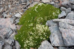 Hectorella caespitosa, Sealy Range, Southern Alps. Image: Antony Kusabs, Te Papa