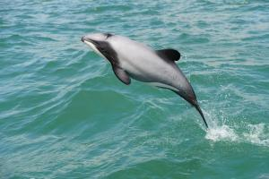 Hector's dolphin. Image: Steve Dawson, New Zealand Whale and Dolphin Trust