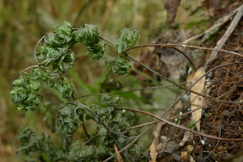 Hymenophyllum villosum is an upland relative of H. sanguinolentum, and differs in being hairy and lacking the soral crests. Both species curl their fronds during drought, but (slowly) unfurl on rehydration (give it a go when you next see a curled filmy fern). Photo Leon Perrie. © Te Papa.