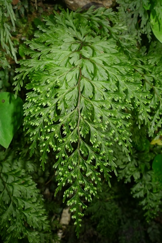 Irirangi or Hymenophyllum demissum is an especially common filmy fern in New Zealand. While many species grow epiphytically (on trees), irirangi often grows on the ground. It can be distinguished by its narrow (or elongated) oval reproductive structures that are often in pairs. Photo © Leon Perrie.