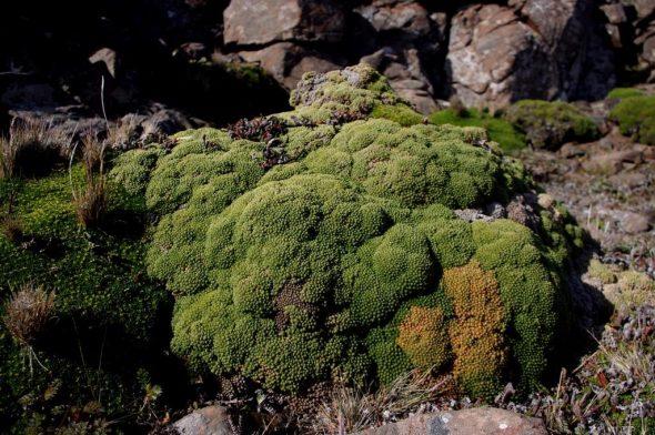 Lyallia kerguelensis, Ile Mayes, Iles Kerguelen. Image: Colin Miskelly, IPEV / Te Papa