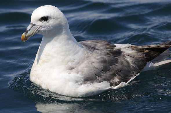 Pale morph northern fulmar off Lundy, England. Image: Andrew Cleave MBE Nature Photographers Ltd