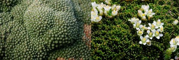 Left: Lyallia kerguelensis. Image: Colin Miskelly, IPEV / Te Papa. Right: Hectorella caespitose. Image: Antony Kusabs, Te Papa