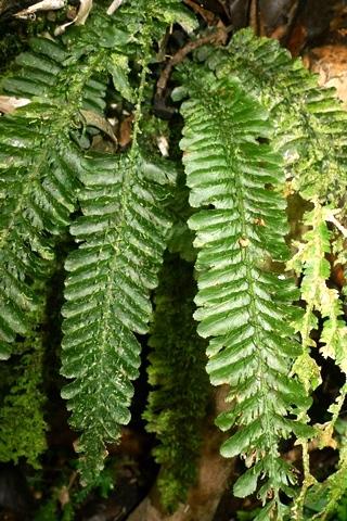 Trichomanes javanicum (or a relative). Solomon Islands. Photo Leon Perrie. © Te Papa.