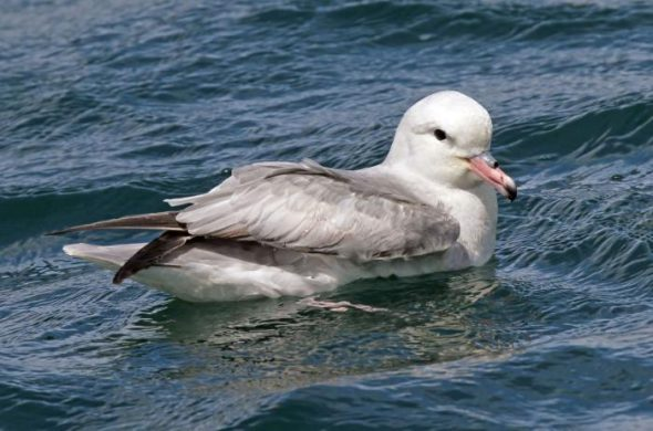 Antarctic fulmar off Mana Island, New Zealand. Image: Duncan Watson, New Zealand Birds Online