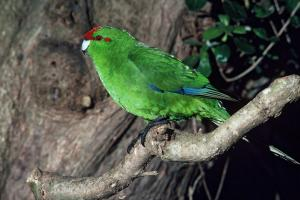 Chatham Island red-crowned parakeet (Cyanoramphus novaezelandiae chathamensis Oliver, 1930) – named by Oliver in his first edition of New Zealand birds. Image: Dave Crouchley, Department of Conservation/New Zealand Birds Online