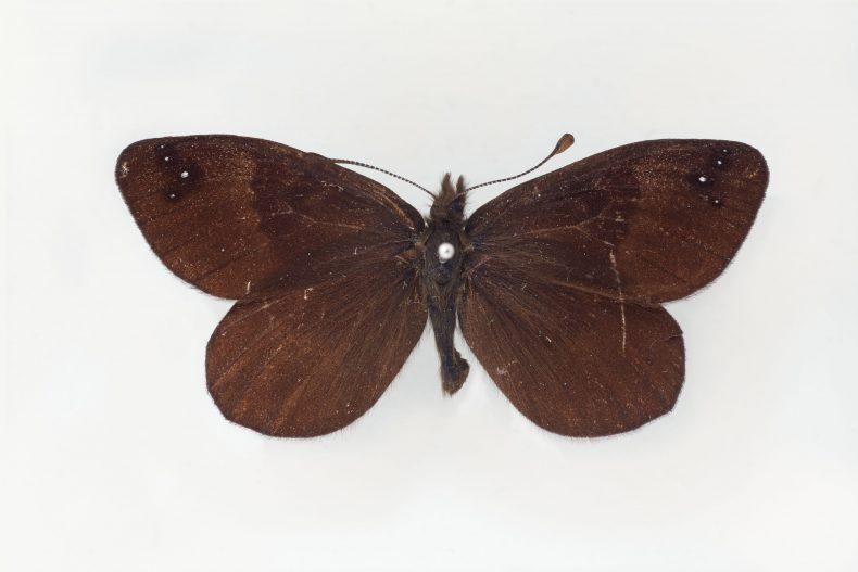 Hamilton's black mountain butterfly (Percnodaimon micans). Lectotype of Erebia pluto micans Hamilton, 1909. Te Papa AI.024867. Te Papa image