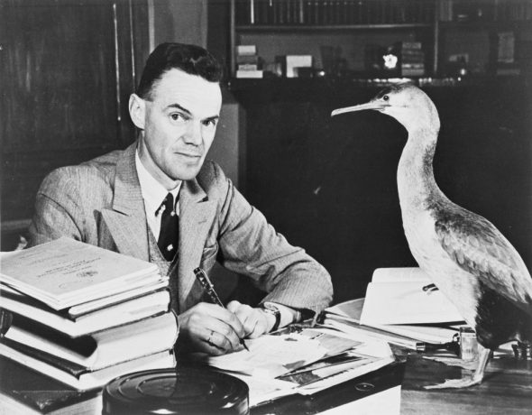 Robert Falla at his desk in the Dominion Museum, watched over by a spotted shag. Image: Te Papa MA_B.016181