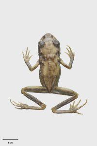 Hamilton's frog (Leiopelma hamiltoni) holotype. Te Papa AM.000012. Te Papa image MA_I069445