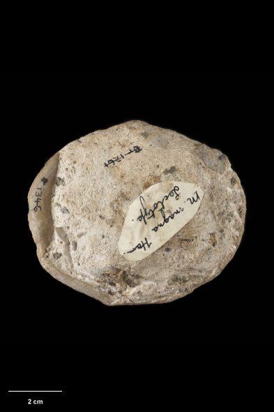 Lamp shell (brachiopod) Mimorina magna. Holotype of Magellania magna Hamilton, 1910. Te Papa BR.001346. Te Papa image MA_I309099