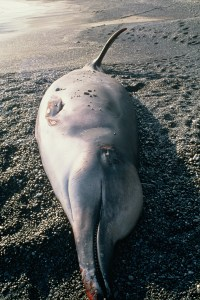 IShepherd's beaked whale (Tasmacetus shepherdi Oliver 1937) stranded at Ōteranga Bay, Wellington, September 1998. Photograph by Peter Simpson, Department of Conservation Te Papa Atawhai (10041750)