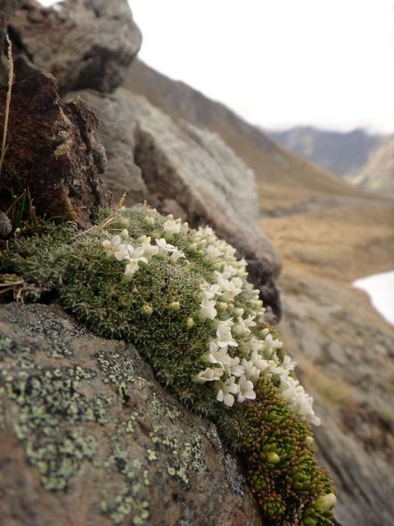 Veronica thomsonii (named after George Thomson), Harris Mountains. Image: Jesse Bythell, New Zealand Plant Conservation Network
