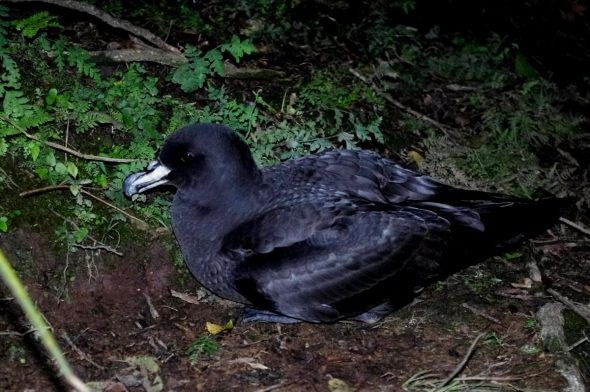 Westland petrel (Procellaria westlandica), Paparoa National Park. Image: Colin Miskelly, New Zealand Birds Online