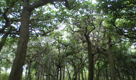 Rēkohu kōpi grove. Kōpi is the Moriori word for karaka. Photograph by Nirmala Balram. © Te Papa