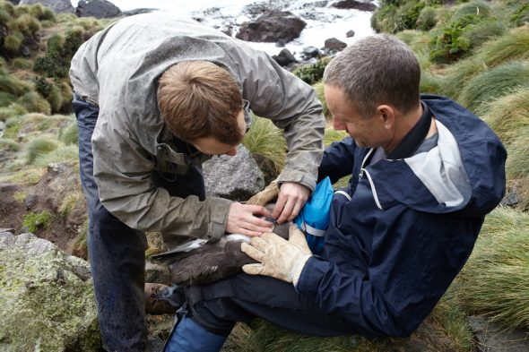 Colin Miskelly and Tim Poupart deploy a GPS logger on a Buller's Albatross