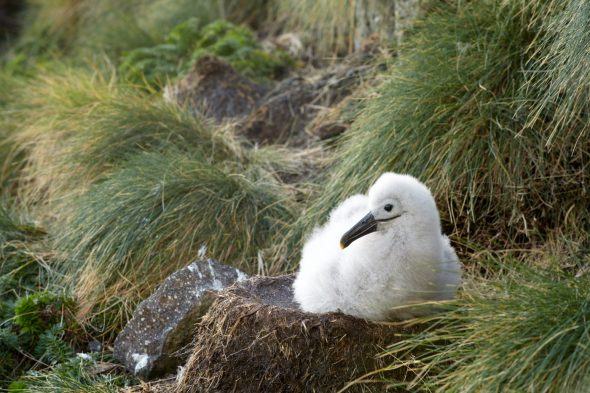 An albatross chick is feed every 1-14 days by both parents, their down and fat enable them to withstand the cold, wet and long fasting periods