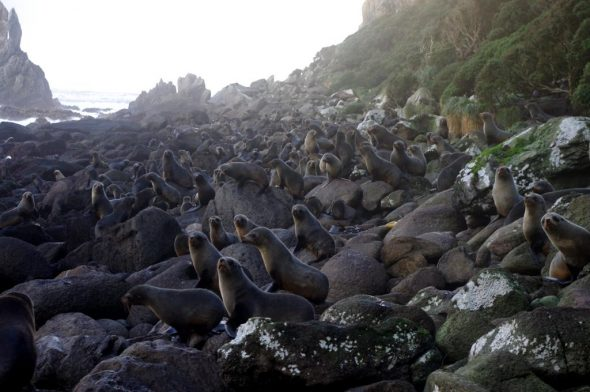 New Zealand fur seals in East Bay, Solander Island, May 2016. There are at least 186 seals visible in the image. Image: Colin Miskelly, Te Papa