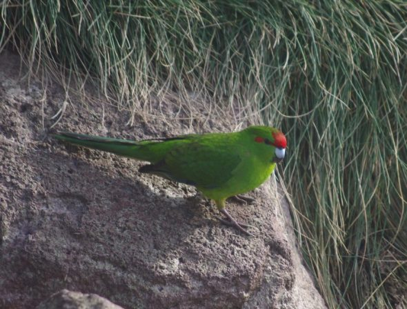 Red-crowned parakeet, Solander Island, May 2016. Image: Colin Miskelly, Te Papa